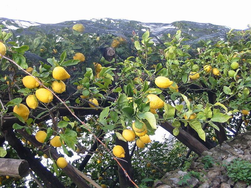 Hogyan és hol nőnek a citromok - Zöldségek