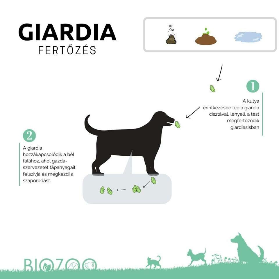 giardia parazita kutya)
