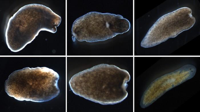 ezüstkagyló helminthosporium solani)