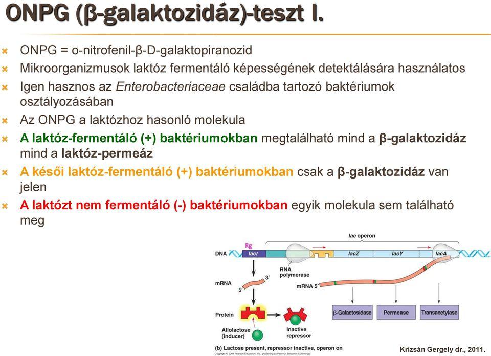 laktóz pozitív baktériumok