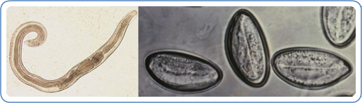 enterobius vermicularis petesejtek)