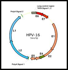 humán papilloma vírus genom