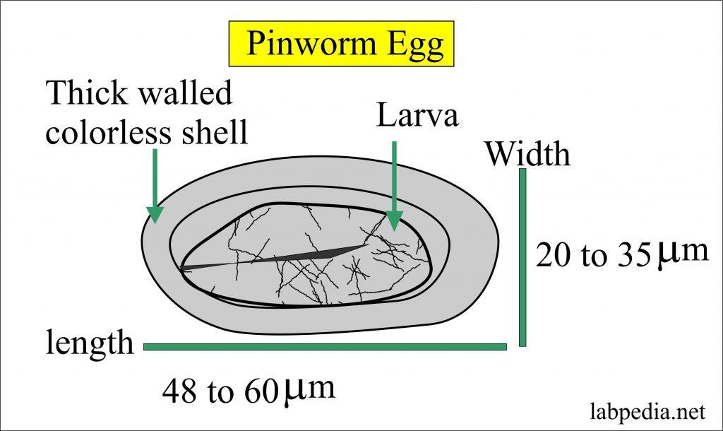 enterobius vermicularis eloszlás