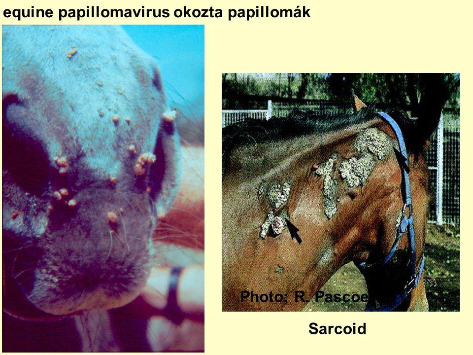 szarvasmarha vírusos papillomatosis)
