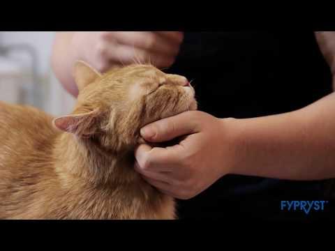 giardia férfi macska