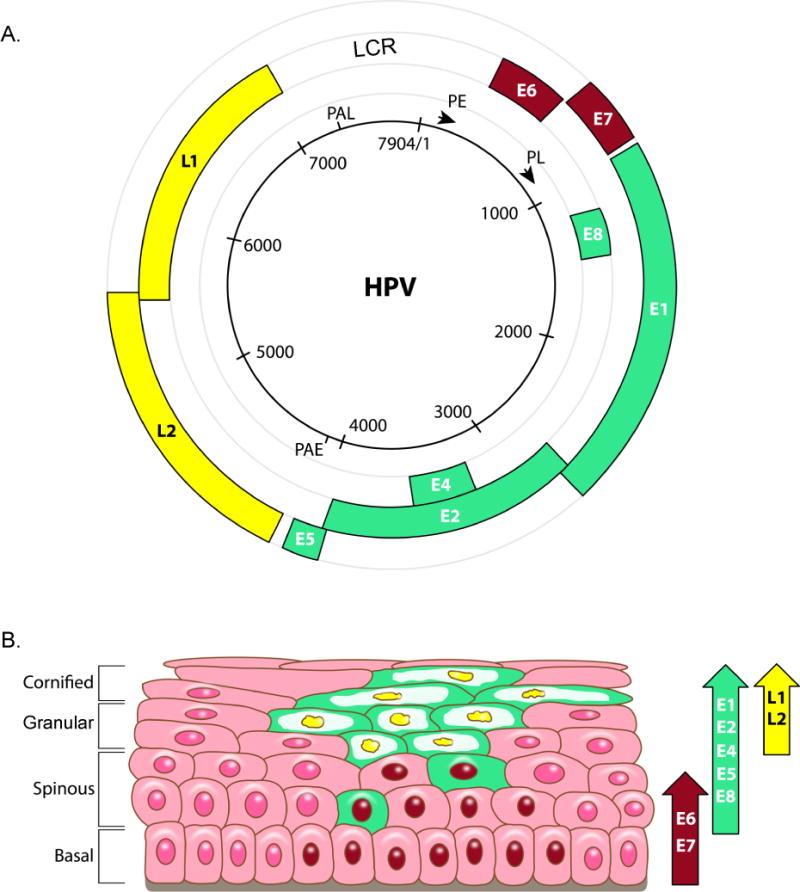 papillomavírus a bőrben