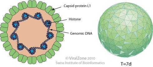 DNS hpv papilloma humán genotipizáló vírus