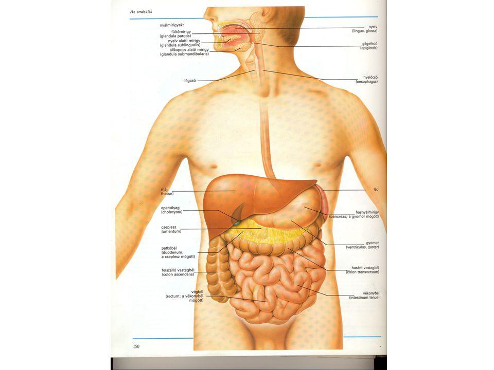 Emésztőrendszer – Wikipédia