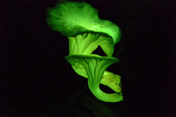 foszforeszkáló gombák