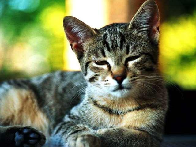 macskák rühének kezelése