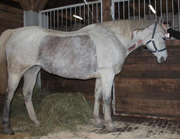 ló fertőző vérszegénysége