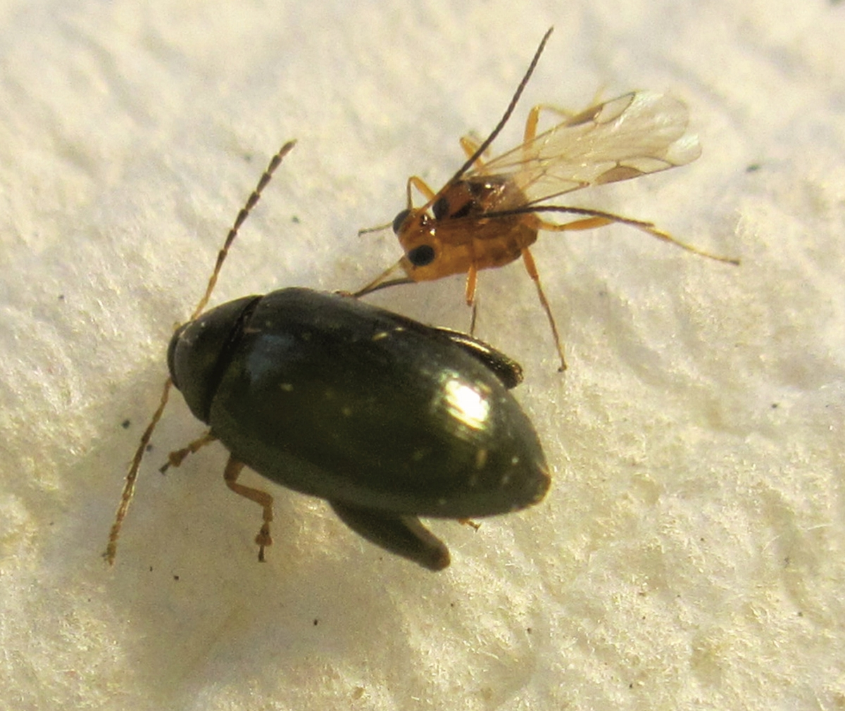 bogár paraziták