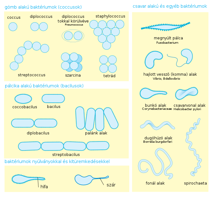 Bacilli – Wikipédia