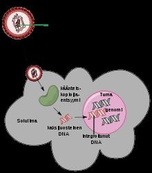 papilloma vírus magas onkogén kockázattal jár