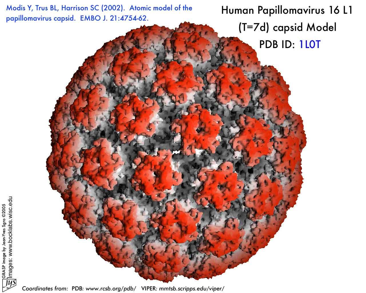 humán papillomavírus 16 18 éves