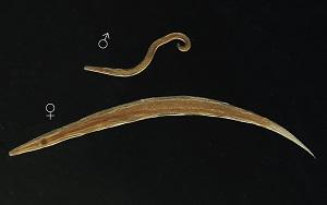 enterobius vermicularis élelmiszer érintett)