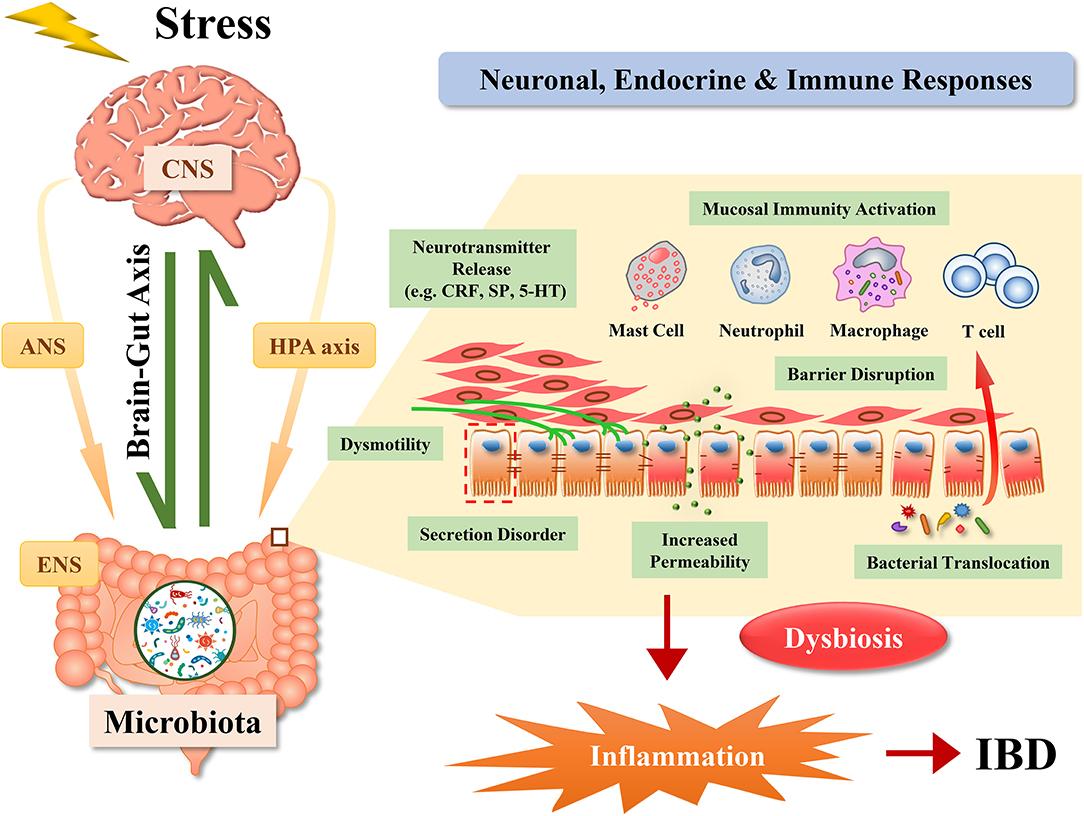 stressz dysbiosis)