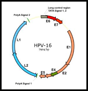 a hpv vírus szexuális érintkezésben szenved vegetáriánus vérszegénység