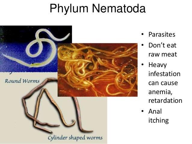 nemathelminthes contoh phylum)