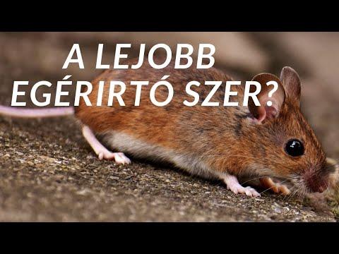 Milyen betegségeket kaphatunk el a patkányoktól és az egerektől? - EgészségKalauz