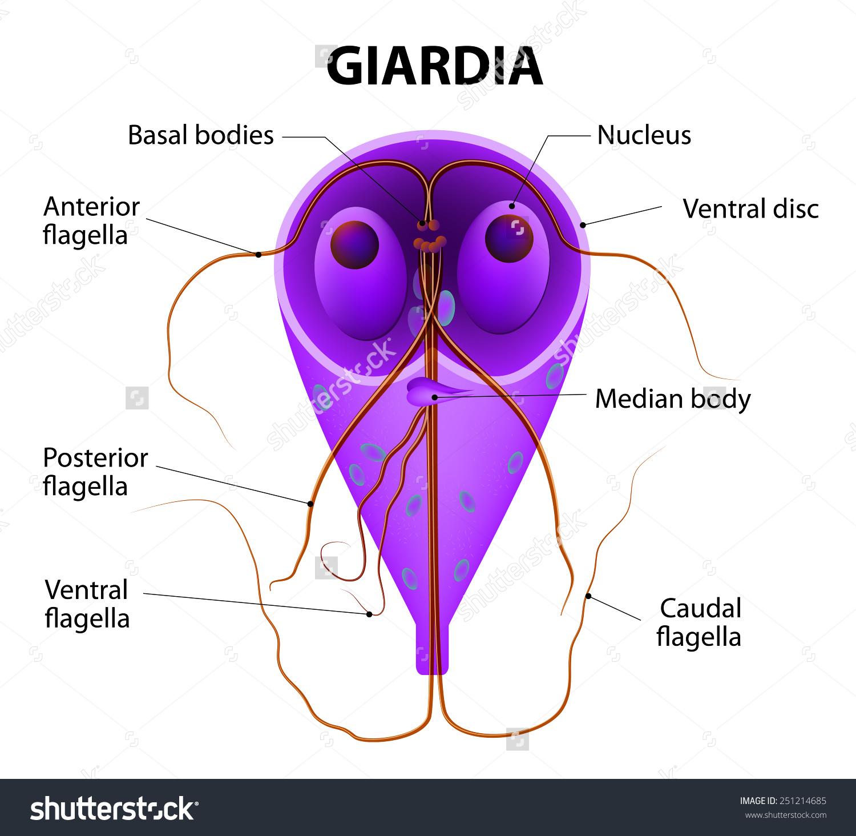 parazita a giardia férgek ellen)