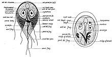 Giardiasis oka. Giardia-fertőzés (giardiasis)
