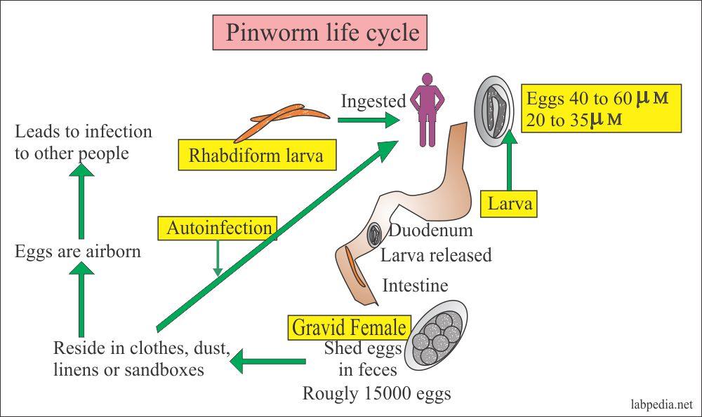 enterobius vermicularis nas l bulas r