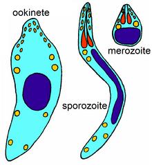 paraziták apicomplexan protozoon