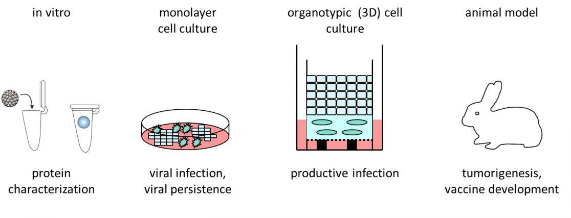 emberi papillomavírus a térdén