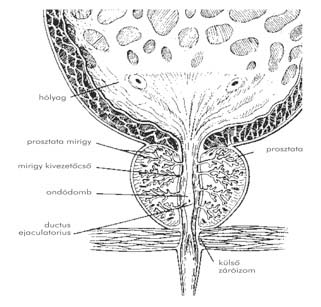 húgycső condyloma patológia