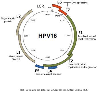 hpv vírus 16. sz