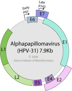 humán papilloma vírus genom)