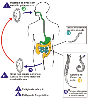 Hogyan lehet ellenőrizni a pinworms et Hogyan lehet ellenőrizni a húst opisthorchiasis esetén