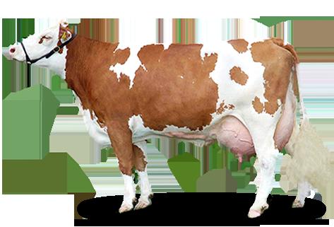 patogén szarvasmarha-papillomatosis