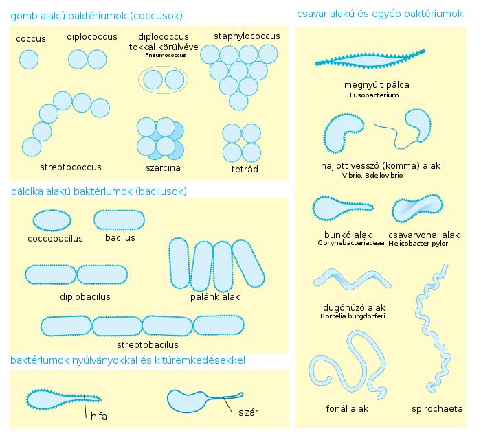bacillus baktériumok