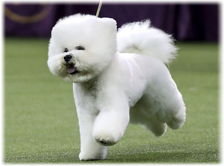 Mi a neve a kis bolyhos kutyáknak. Tibeti spániel - a szerzetesek szőrös társa