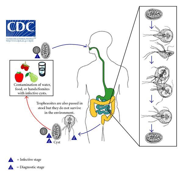 a giardia duodenalis tünetei)