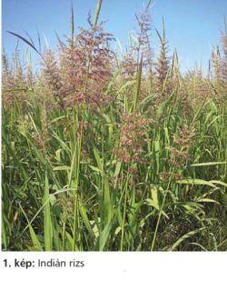 a rizs helminthosporiumának kémiai ellenőrzése)