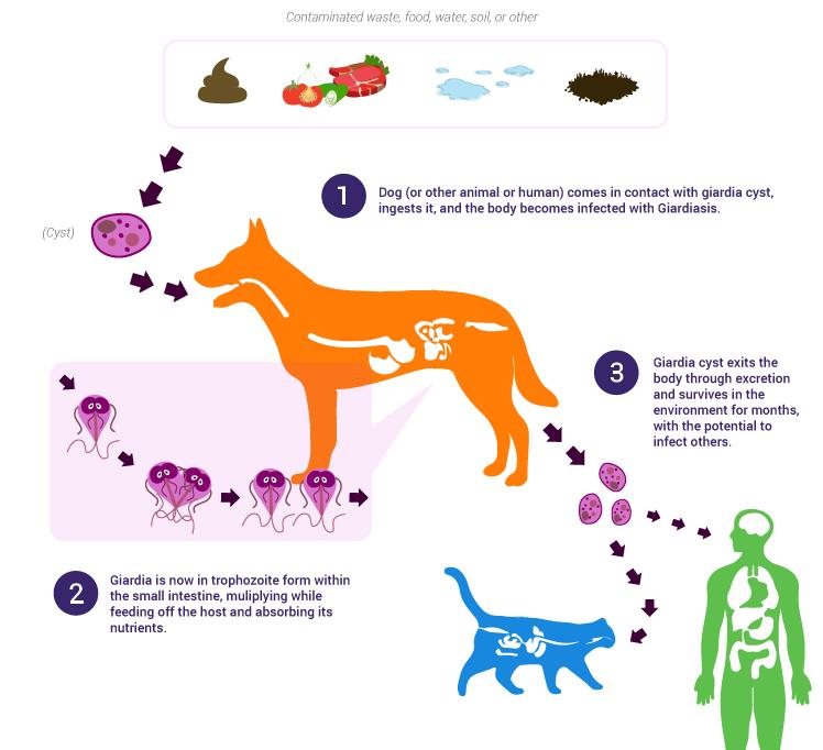 cronische giardia bij honden