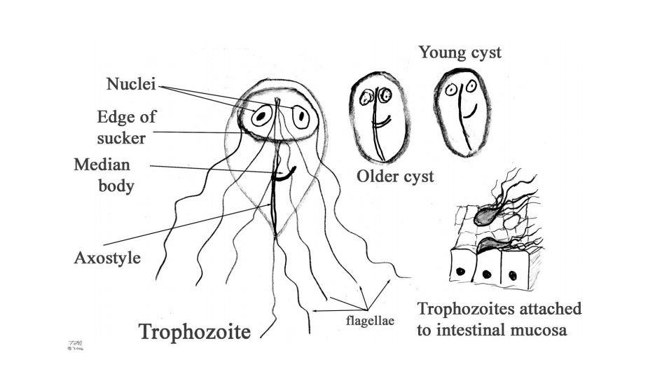 Giardia simptome adulti forum
