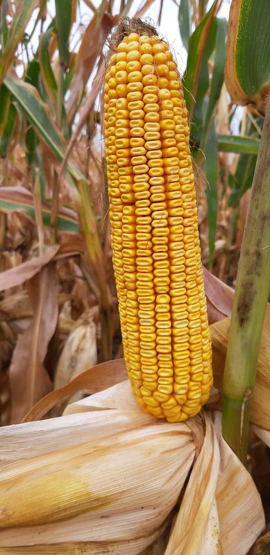 fonalfereg kukorica